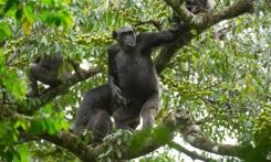 MDG : DRC : Chimpanzees in Tongo forest, Virunga National Park, DR Congo